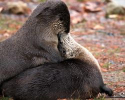 Otter Kiss by Jack-13