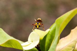 Yellow Jacket-Bee by rizkiynd