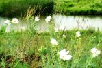 White Flowers in the Winds by LilArtist23