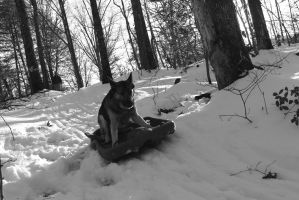 Sled Dog by Wolfegard