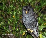 Black-banded Owl by BrunoDidi