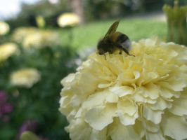 bee on a flower by Voloshina