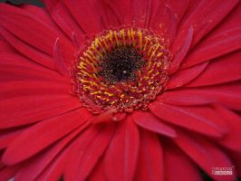 red in macro by Quetos