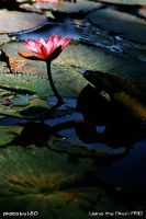 Waterlily2 by Leo by leo723