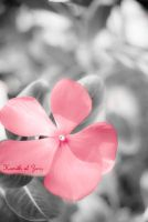 pink dream by hohe