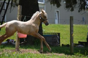 Palomino Foal Stock 5 by iRideOn
