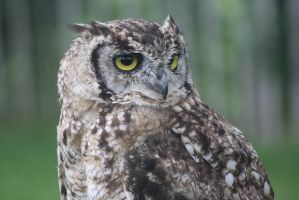 Spotted Eagle-Owl by Vampiregirley