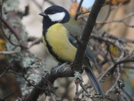 Great Tit - 2014 Early Winter by Pulsar74