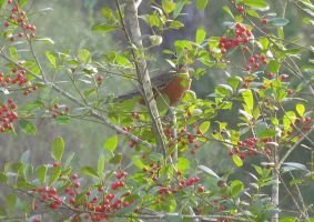Robin Red Berry by dproberts
