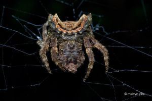 Big-Headed Bark Spider, Caerostris sp. by melvynyeo