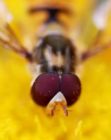 hoverfly 07 Closeup by yvaine2010