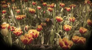 Tulip Field by personia