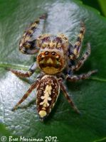 Macro Jumping Spider by BreeSpawn