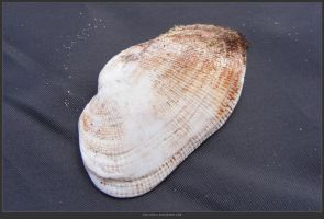 Unrestricted Object Stock - Sea Shell 24 by shelldevil