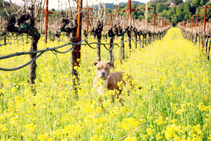Pitbull In Mustard Vineyard by xxtgxx