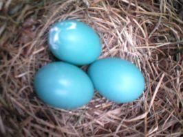 Robin Eggs by ScenePika