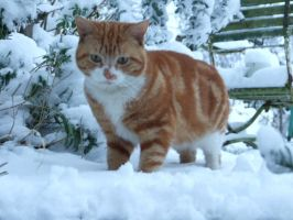 Snow cat by tommy-tommerson