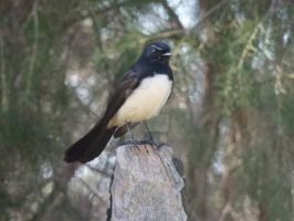 Willy Wagtail by blackshoulderedkite