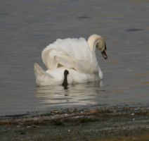 Stock Swan 2 by Sheiabah-Stock