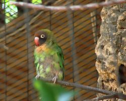 Black Cheeked Lovebird by violent-obsession