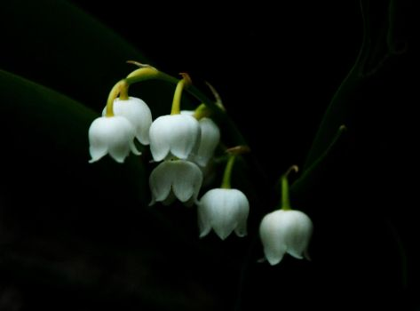 Lily of the Valley by Meluzina81