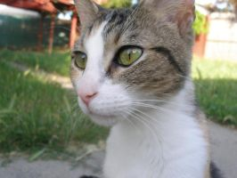 My cat Chespy by ceciliay