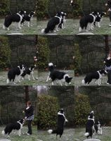 Collie Dogs 1 by Tasastock