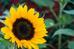 Sunflower by aheria