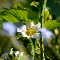 Some white flower by Cassiopeeh