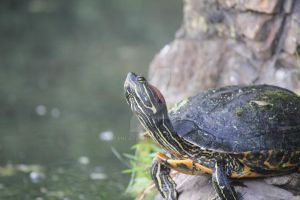 Turtle in Lungo Arno by deahlateM