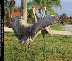 Sandhill Crane Stock 6 by Cassy-Blue