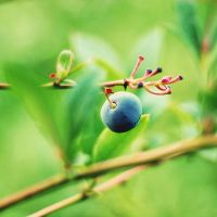 Blueberry by BlueColoursOfNature