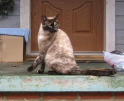 siamese cat 04 by CotyStock