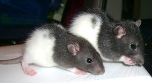 Baby Rats by DemberPhotos