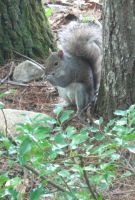 gray squirrel by crazygardener