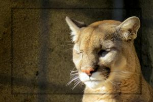 Captive Mountain Lion by Joe-Maccer