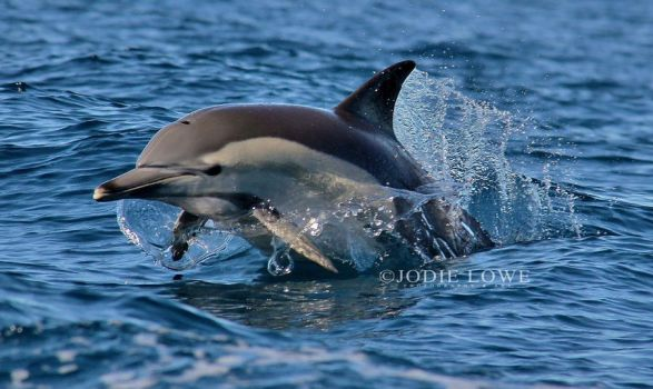 Porpoising Common dolphin by Oracle88