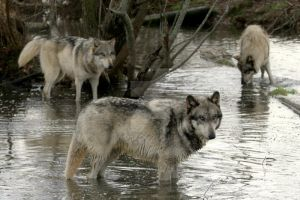 wolf pack in the lake by Yair-Leibovich