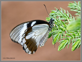 Brown and White Butterfly on Pine by Mogrianne