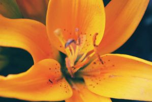 Yellow Oriental Lily by Popstudios