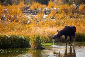 Schwabacher Moose by michael-dalberti