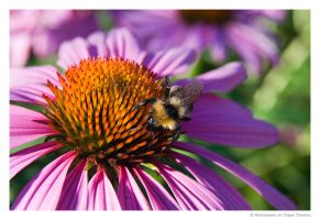 flower with bee by tobiasth