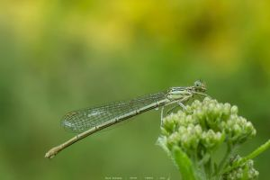 Dragonfly  . . . by fotoblansko