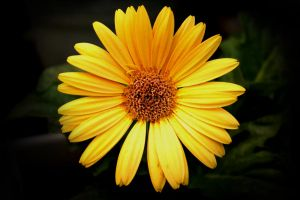 Yellow Gerber Daisy by designerfied