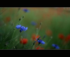 Cornflowers by Bociek