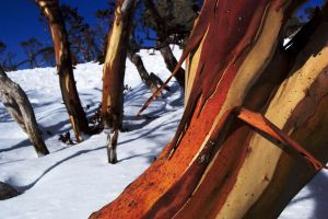 Snow Gum by JosCos