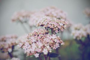 Peach flower by SylviaDalberg