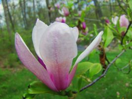 Magnolia Flower by jim88bro
