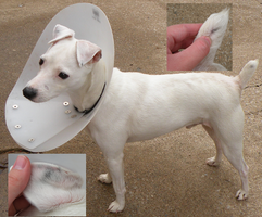 Think before you breed- Deafness in white dogs by Leonca