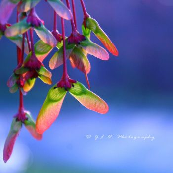 Red Maple Helicopters by Moon-Willow